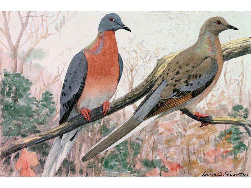 Resultado de imagem para passenger pigeon