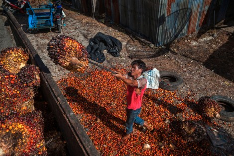 Palm oil is extracted from the fruit of palm nuts like these, harvested in Sumatra, Indonesia. Photograph by Steve Winter, National Geographic