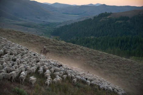 Every summer, Idaho livestock herders guide their herds of sheep hundreds of kilometers in a route stretching from the Snake River Valley in southern Idaho to the Sawtooth Mountains in the center of the state. And every winter, the sheep are herded back to the warmer pastures of the south. Photograph by Matt Moyer, National Geographic