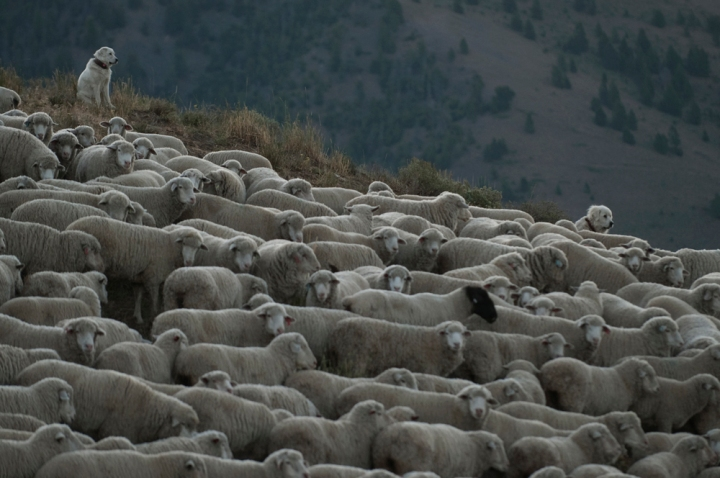 Many herders use herding dogs and livestock guardian dogs to help guide and protect their sheep. Photograph by Matt Moyer, National Geographic