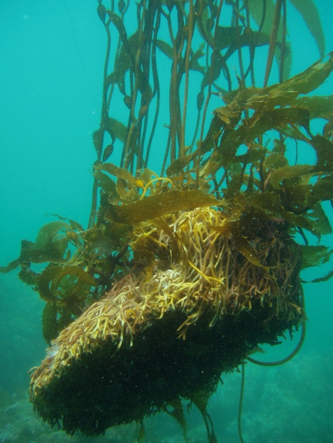 Kelp holds fast and holds up, but not much can hold up to strong ocean currents! Photograph courtesy Claire Fackler, NOAA National Marine Sanctuaries