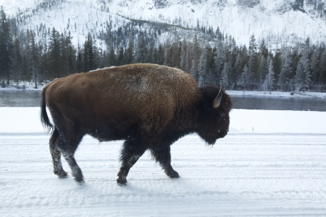 A bison walking in the snow in Yellowstone National Park. Photo by Mark Thiessen