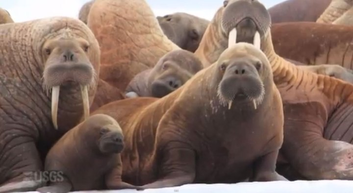 "The adult walruses here, like most of the walruses in Point Lay, are female. (Both male and female walruses have tusks, which start to grow—""erupt""—during a pup's first summer. That means this little ball of blubber—walrus pups are born weighing about 70 kilograms (154 pounds)—is less than a year old.) Walrus pups, sometimes called calves, spend between two to five years with their mothers. Female walruses stick with female herds, while male walruses stick with other young males. Adult male walruses are usually pretty solitary—if you were a 4,000-pound apex predator with 3-foot tusks, you would be, too. Photographic still from the video ""Tracking Pacific Walrus: Expedition to the Shrinking Chukchi Sea Ice,"" by Stephen M. Wessells, USGS"