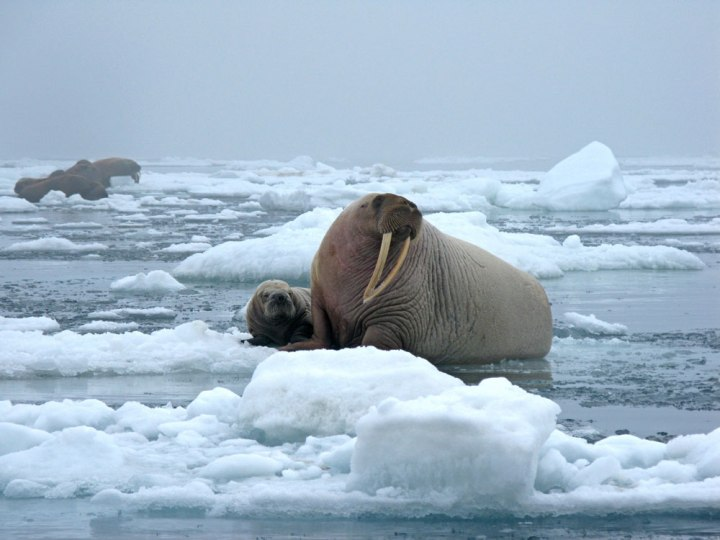 This is a much healthier environment for a walrus mother and pup—chilling on sea ice in the Chukchi Sea. Photograph by Sarah Sonsthagen, USGS