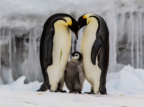 What phenotypic traits would you study among this penguin family? Photograph by Paul Nicklen, National Geographic