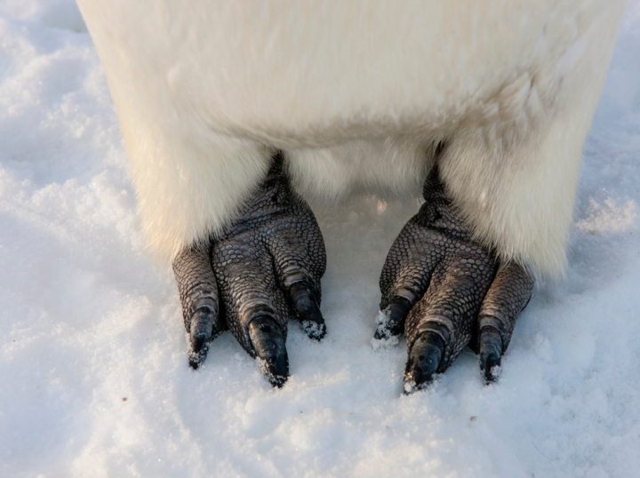 Or get close to his two feet? Photograph by Paul Nicklen, National Geographic