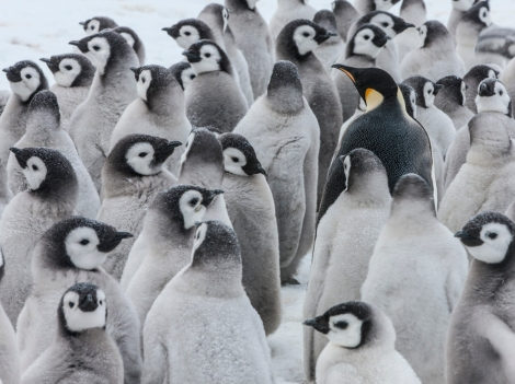 The emperor in this crèche is overwhelmed by the chicks. And the cuteness! Photograph by Paul Nicklen, National Geographic