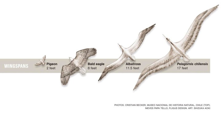 Nat Geo is going to have to update this beautiful diagram! The wingspan of Pelagornis chilensis' cousin, Pelagornis sandersi, just clocked in at 6.4 meterS (21-feet). Illustration by Shizuka Aoki, National Geographic
