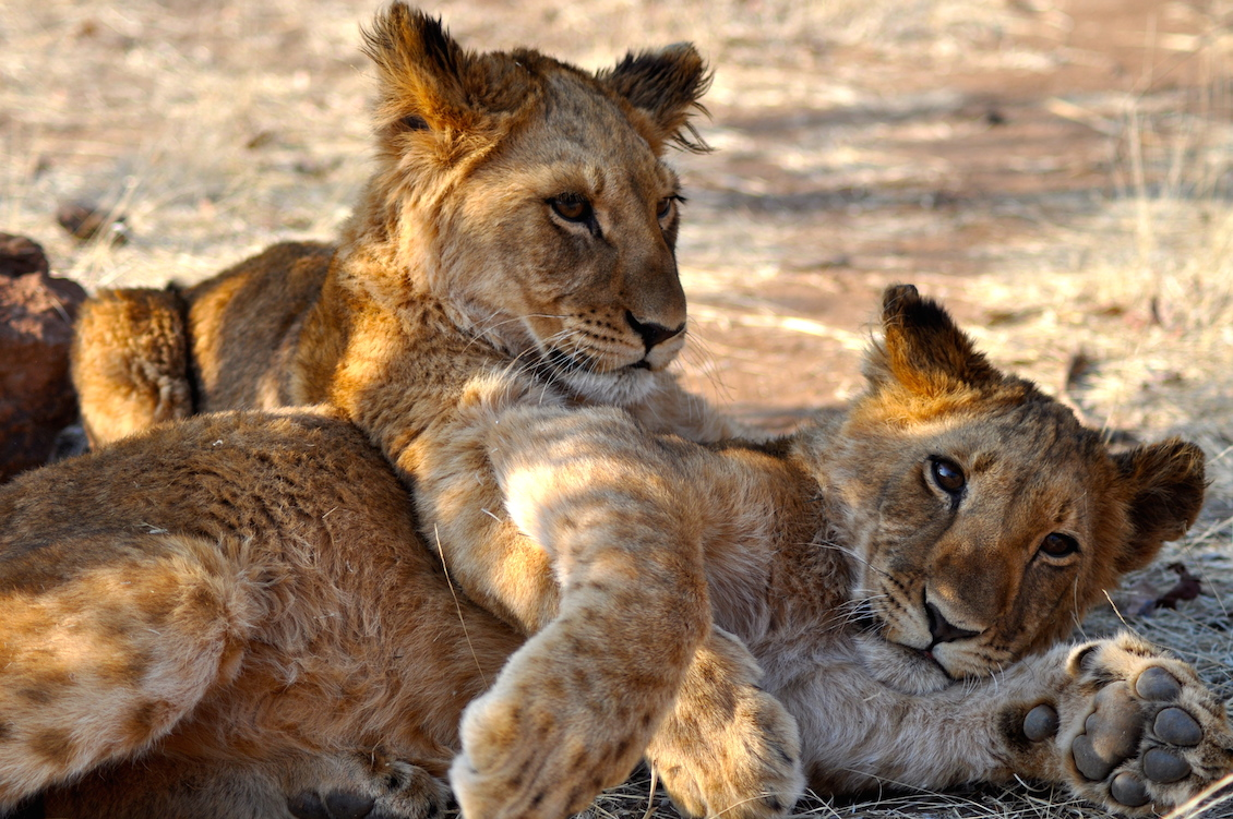 Media monday which big cat is fastest nat geo education blog gumiabroncs Image collections