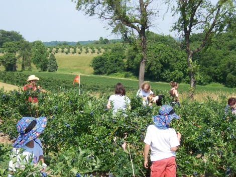Consumers pick their own blueberries in the green fields of suburban Maryland. Photograph courtesy Jillian Levine