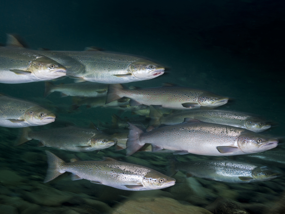 You won t believe the source of the world s most for Alaska freshwater fish