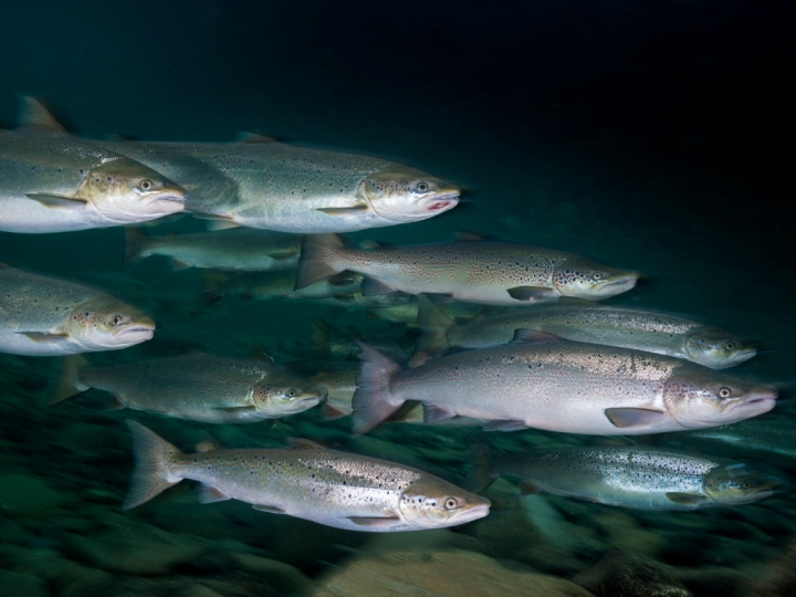 In the wild, Atlantic salmon follow an anadromous migration pattern, meaning they migrate from freshwater (rivers and streams) to the ocean (saltwater) and back to freshwater habitats. (These wild Atlantic salmon are swimming up the Saint Jean River from the Gulf of Saint Lawrence to spawn.) In salmon farms, the fish spend their entire lives in freshwater. Photograph by David Doubilet, National Geographic