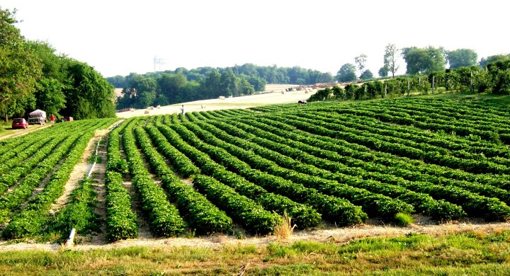 The farmers at Butler's Orchard must consider the climate, topography, and soil before choosing where to plant crops like strawberries, above. Photograph courtesy Jillian Levine