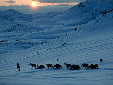 Reindeer are central to Sami society in Norway, where nomadic lifestyles are nearly gone. Photograph by George F. Mobley, National Geographic