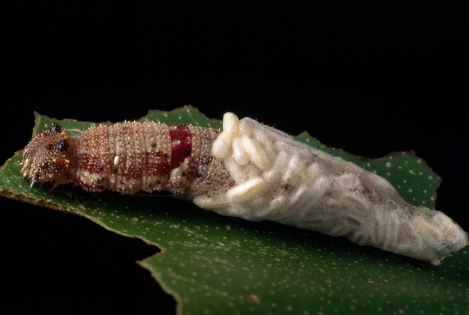 These wasp larvae are slowly consuming a caterpillar from the inside out. Disgusting enough for you? Photograph by Darlyne A. Murawski, National Geographic