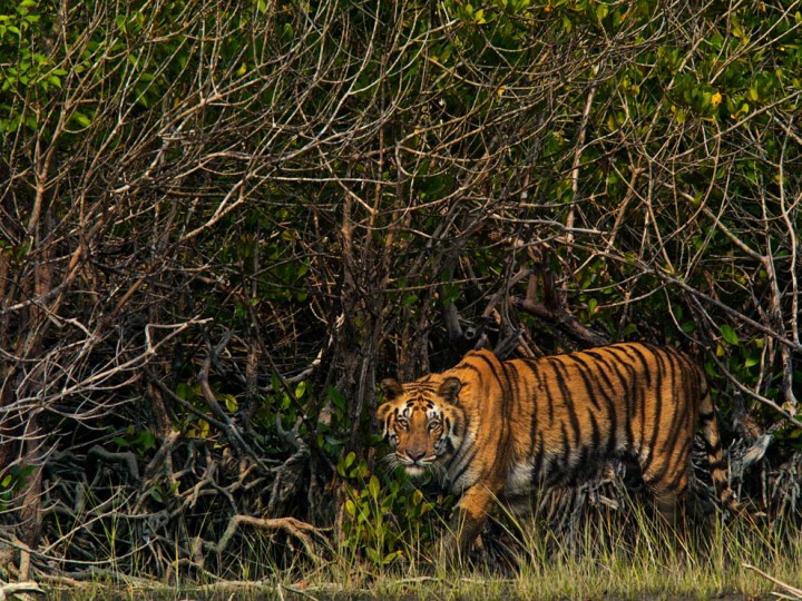 Bengal tigers prowl the gnarled pneumatophores of the Sundarbans. Photograph by Steve Winter, National Geographic