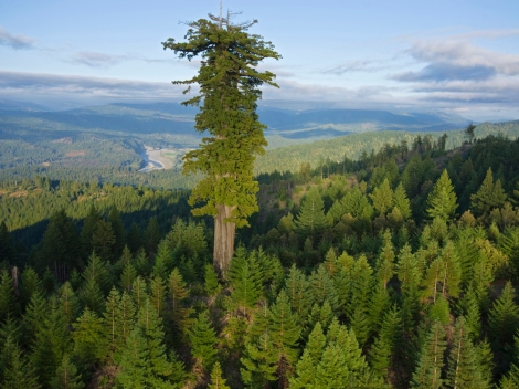 Coast redwoods like this one in Humboldt Redwoods State Park, California, are the tallest trees in the world. (Let's keep that title, California! Grow, Sequoia sempervirens, grow!) Photograph by Michael Nichols, National Geographic