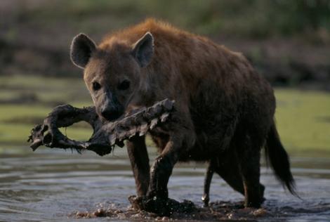 Photo of a hyena.