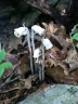 Indian pipe is an example of a parasite that is wholly dependent on another plant for its food. It doesn't have any chlorophyll and can't photosynthesize. Photo by Carrie Seltzer