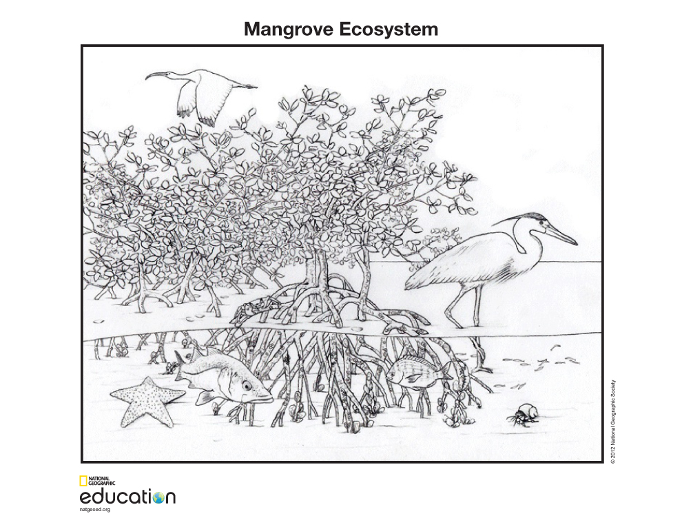 Mangrove Activities For Kids