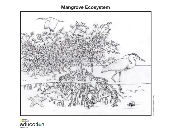 Download this simple coloring page to better understand the biodiversity of the mangrove ecosystem. Check out this illustration on our website. Illustration by National Geographic