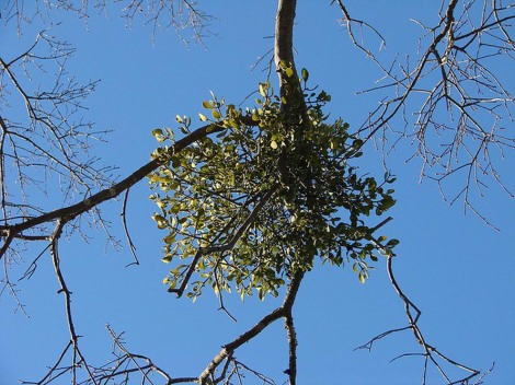 Mistletoe growing from a tree branch.  Photograph by Martin LaBar