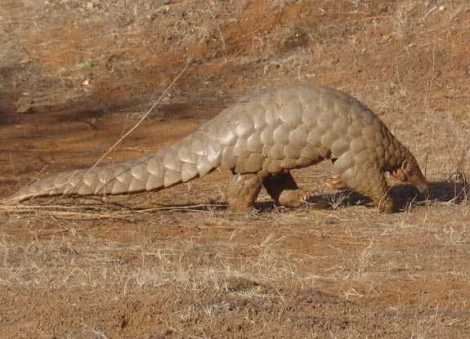 Pangolins are funny-looking mammals native to tropical parts of Africa and Asia, like this one in Sri Lanka. Pangolins are killed for their scales (used in medicines) and meat. Read our blog post on pangolin trafficking written for World Pangolin Day (third Saturday in February, mark you calendars). Photograph by Sandip Kumar, courtesy Wikimedia. CC-BY-SA-3.0