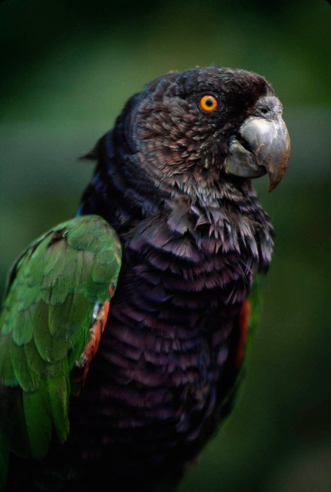 "Birds, like this beautiful Amazon parrot, are captured and sold as exotic pets. Read our blog post on what may be the ""worlds' most traded wild birds."" Photograph by Bruce Dale, National Geographic"