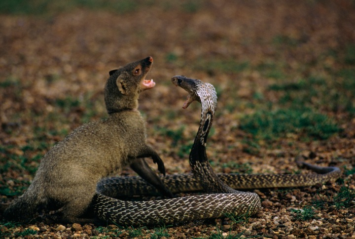 A mongoose and king cobra face off in the Sundarbans. Is this Rikki Tikki Tavi and Nag? Photograph by James P. Blair, National Geographic