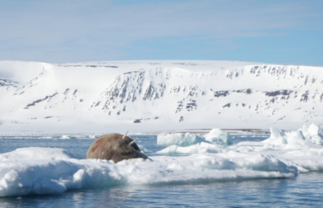 Photo of a walrus in the Arctic.