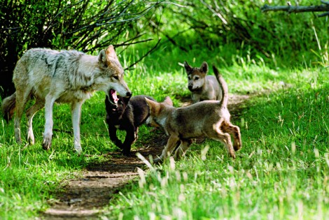 Photo of a wolf and pups.