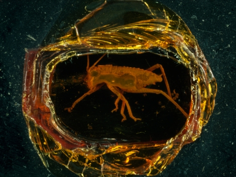 As anyone who has seen or read Jurassic Park knows by now, amber is also an outstanding preserver of prehistoric fossils, like this Jurassic grasshopper. Photograph by Paul Zahl, National Geographic