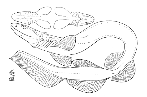"""This illustration was made by Samuel Garman, the American zoologist who made the first recorded analysis of the frilled shark, studied off the coast of Japan in 1884. It makes for a great coloring page! Illustration by Samuel Garman, """"An Extraordinary Shark"""" in Bulletin of the Essex Institute v. 16: 47-55 (1884)"""