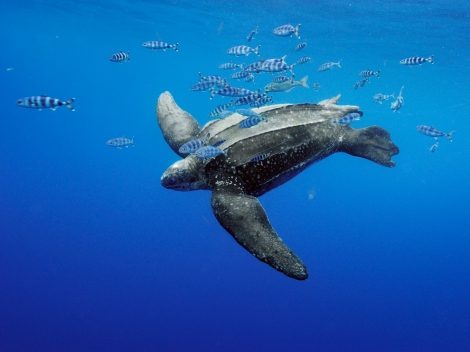 The largest specimen of the leatherback sea turtle (reptile) (this one is swimming off the Azores in the Atlantic Ocean) reached almost 7 feet! Photograph by Brian Skerry, National Geographic