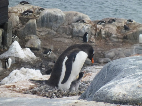 Penguin and Baby at Port Lockroy-crop