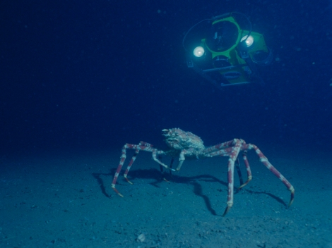 The largest specimen of Japanese spider crab (crustacean), like this one avoiding an ROV in Suruga Bay, Honshu, Japan, was about 12 feet wide. Photograph by Emory Kristof, National Geographic