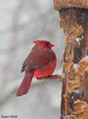 Male Northern Cardinal observed on January 26, 2015, in Vermont. Photo by Susan Elliot (CC BY-NC). Submitted to the Great Nature Project.