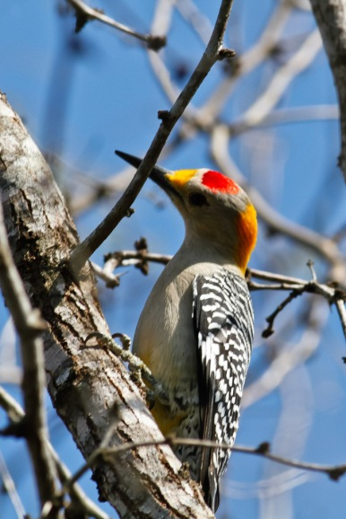 Male golden-fronted woodpecker  observed on February 21, 2014, in Texas. Photo by Greg Lasley (CC BY-NC). Submitted to the Great Nature Project.
