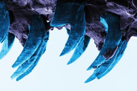 The microscopic teeth of the common European limpet—seen here with a scanning electron microscope—are the strongest natural material yet documented. © 2015 Asa H. Barber, Dun Lu, and Nicola M. Pugno. Published by the Royal Society CC-BY-4.0.