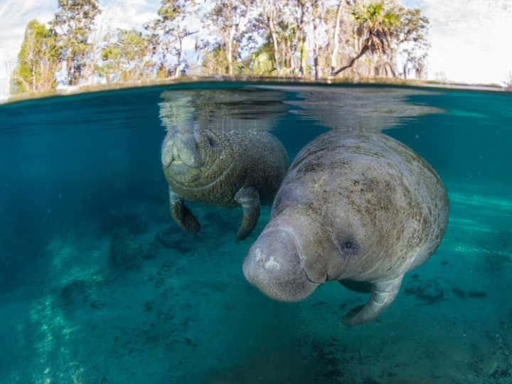 "A manatee calf surfaces to breathe next to her protective mother in Three Sisters Springs, part of Crystal River Springs Preserve, Florida. The springs usually enjoy a steady rate of about 65 ""sea cows"" a day. But earlier this week, more than 300 manatees crowded the inlet of the Crystal River, shutting down popular tourist attractions such as swimming and snorkeling. Photograph by Paul Nicklen, National Geographic"