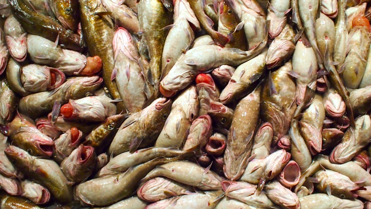 Of cod and climate nat geo education blog for Cod fish mercury