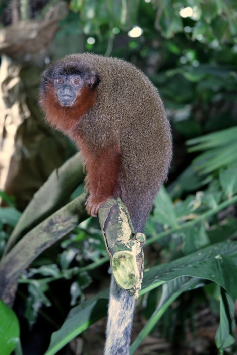 This is not Milton's titi, the newest species of monkey discovered. It's a relative, the dusky titi. Photograph by Cliff, courtesy Wikimedia. CC-BY-2.0
