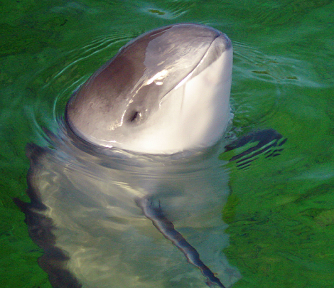 Harbor porpoises like this one do not generate echolocation signals in the larynx, nor do they emit them through their mouth. Instead, they have specialized sound-producing structures, called phonic lips, located high in the blowhole. Phonic lips! Photograph by AVampire Tear, courtesy Wikimedia. CC-BY-SA-3.0