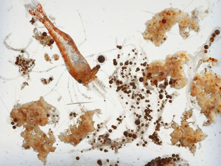 . . . and bottom dwellers. Photograph of a shrimp the size of a staple swimming among marine snow and oil globules by David Liittschwager, National Geographic