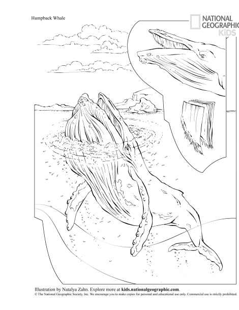 Celebrate the recovery of the humpback whale by downloading this terrific coloring page from Nat Geo Kids! Download the rest of the coloring book here. Illustration by Natalya Zahn, National Geographic