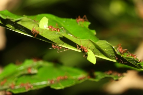 Leafcutter ants observed in Mexico. Photo by Scott Loarie (CC BY-NC). Submitted to the Great Nature Project.