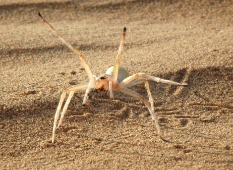 This cartwheeling spider invokes a threatening position before tumbling toward its predator! Photograph by Prof. Dr. Ingo Rechenberg, Technical University Berlin