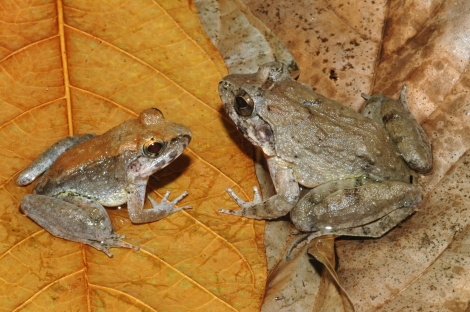 These aren't mother and child, they're male (left) and female (right) Indonesian frogs. Photograph by Jimmy A. McGuire