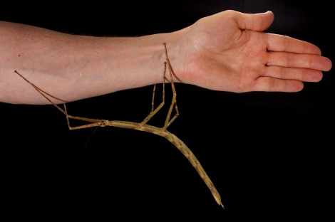 Phryganistria tamdaeoensis isn't close to being the world's largest stick insect, but it's still a pretty big bug. Photograph by Jonathan Brecko