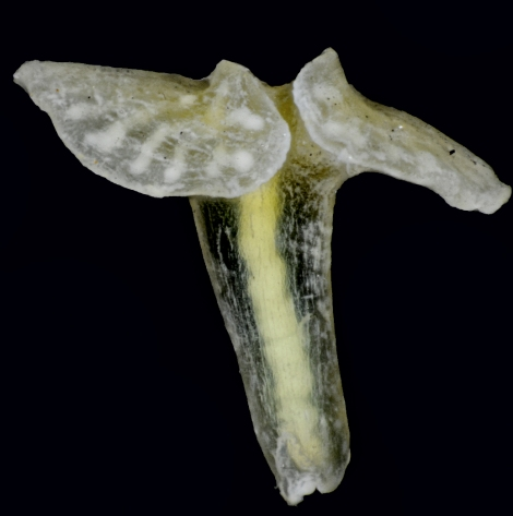 """The so-called """"X-phyla"""" are multicellular animals that look like mushrooms, with a mouth at the end of the """"stem"""" and a flattened disc at the other end. Photograph by Jørgen Olesen"""
